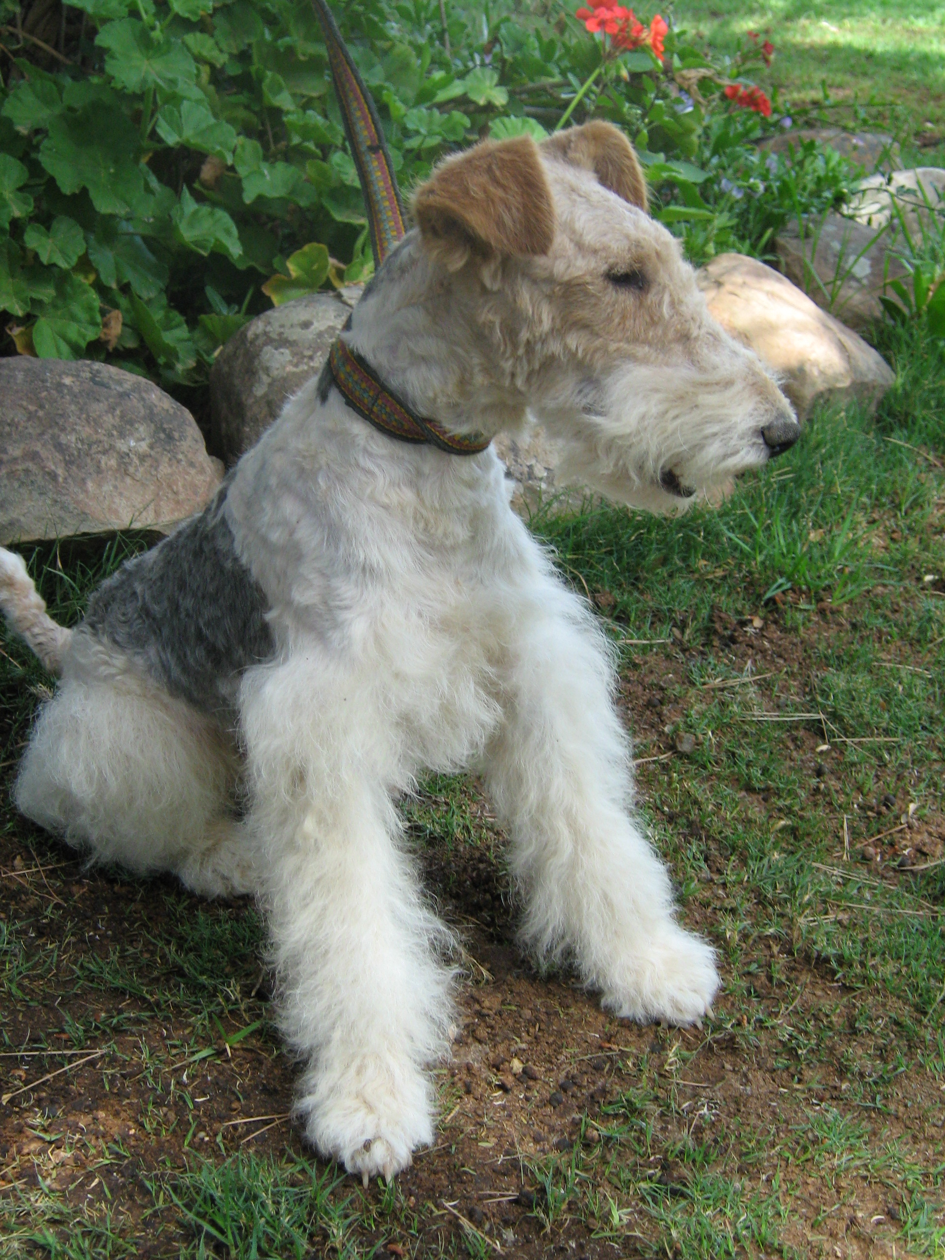Wire Haired Fox Terrier | Photo Gallery | Yorma kennels
